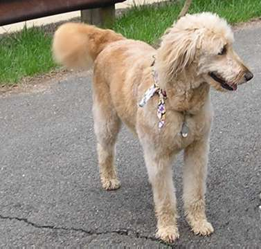 goldendoodle mini. house Bailey the Goldendoodle