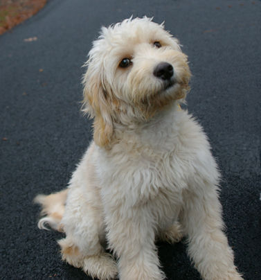 mini goldendoodle puppy. Our Mini Goldendoodle puppies